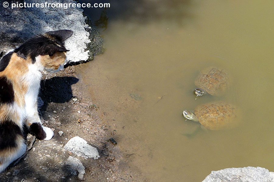 Cat and turtels on Lesvos