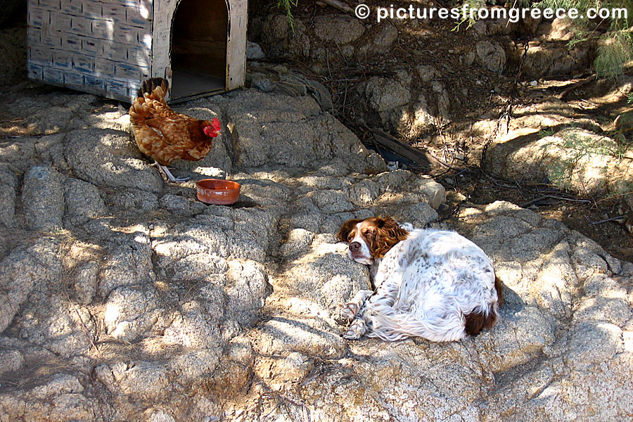 The hen and the dog on Serifos.
