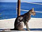 Cat from Sifnos.